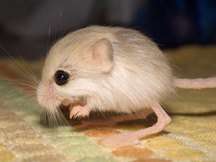 Tiniest mouse in the world you have ever seen !