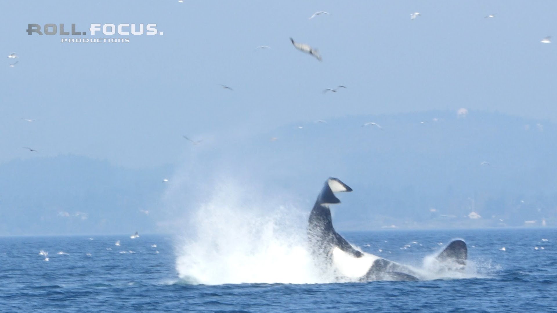 Spectacular ! Whale throws a Seal 80 feet on Air