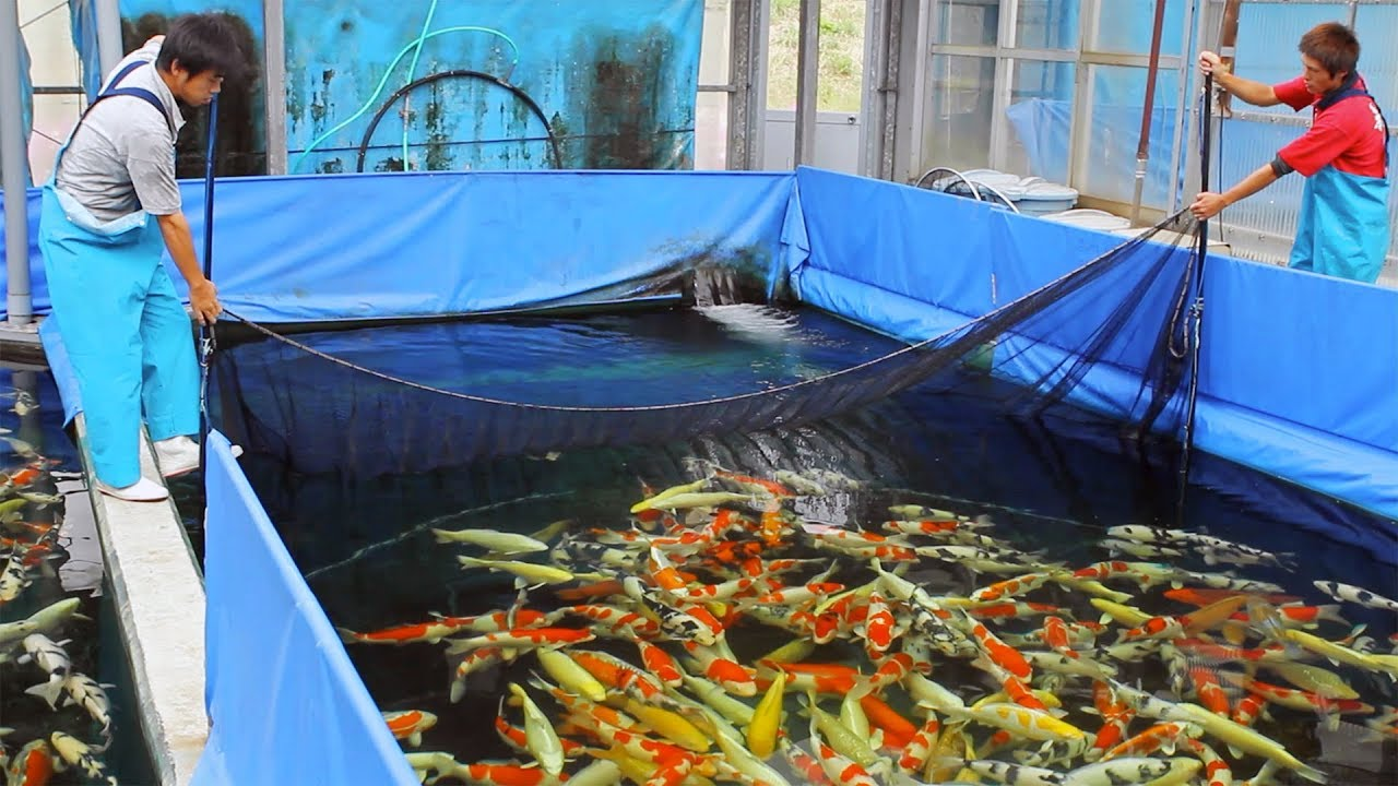 Watching Koi Fish farming feels a breath of fresh air!